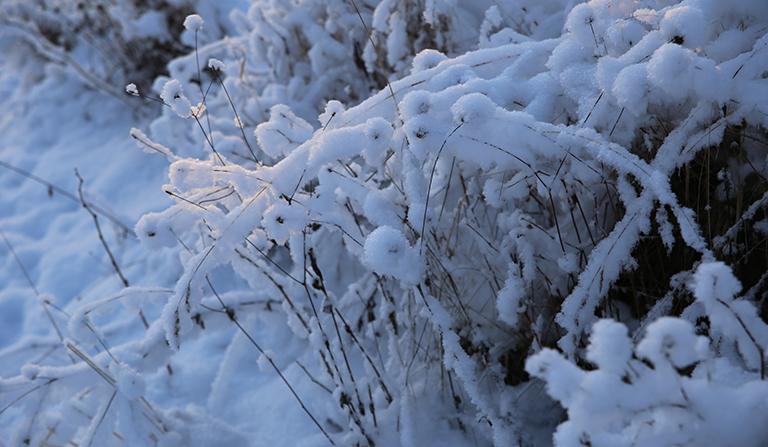 Snødekket ugress i grøftekant.